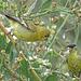 Lesser Goldfinch Pair (Western Form)