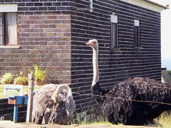 Ostriches on house's side yard.