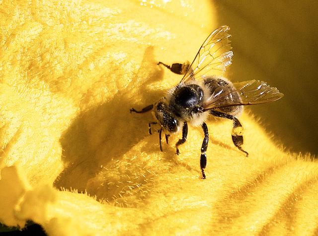 Biene auf einer Kürbisblüte