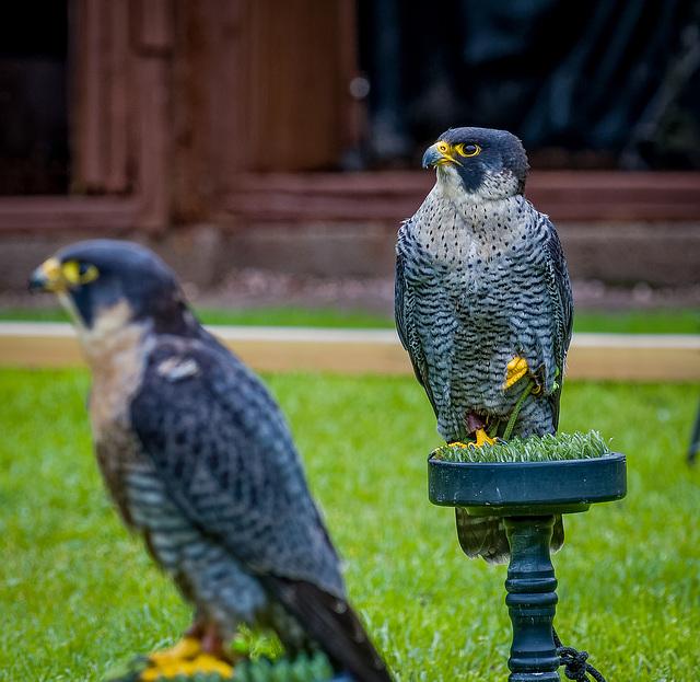 Cheshire falconry.30jpg