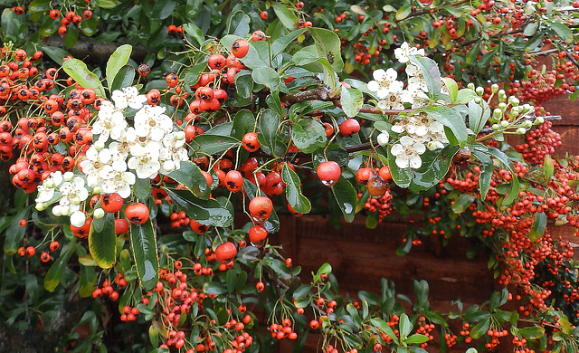 Pyracantha flowering out of season.