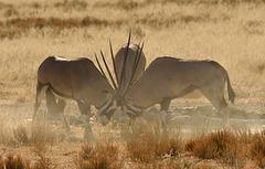 South Africa Oryx (Oryx gazelle )