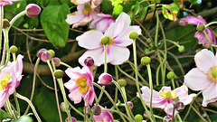 Anemones bloom in profusion