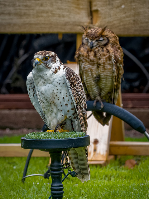 Cheshire falconry.31jpg