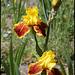 Iris Fanfaron