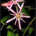 Passiflora sanguinolenta (2)