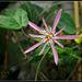 Passiflora sanguinolenta (3)