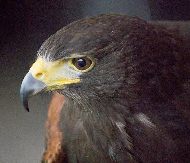 Cheshire falconry1