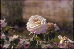 One Rose From 1978