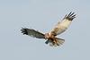 Rohrweihe - fliegend