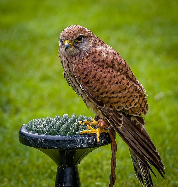 Cheshire Falconry15