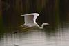 Silberreiher - fliegend