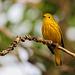 Yellow Warbler / Setophaga petechia