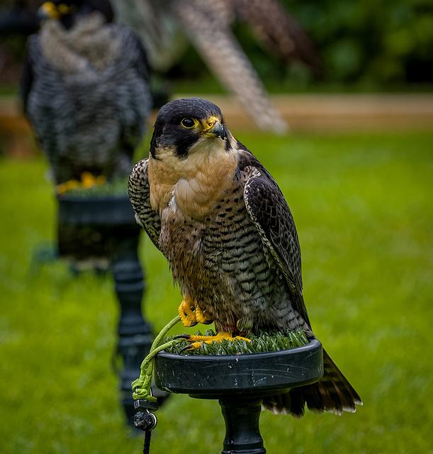 Cheshire Falconry16