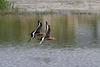 Uferschnepfen - Formationsflug