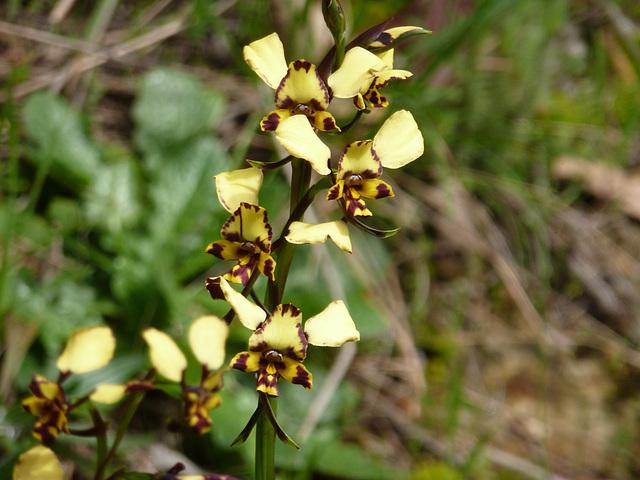 diuris maculata or pardina