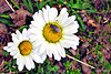 Just Common Daisies