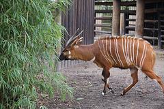 Bongo im Bambus (Zoo Frankfurt)