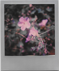 purple flowers - impossible silver edge
