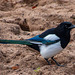 Magpie, this was sharing the enclosure with the camels in the zoo.