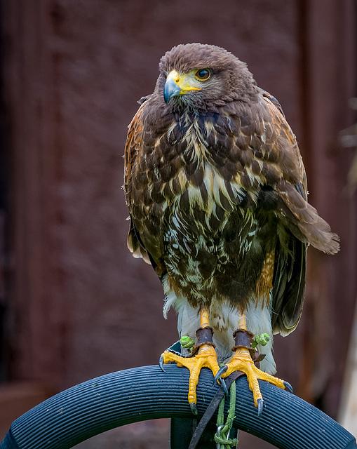 Cheshire Falconry18