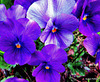Purple Pansies.