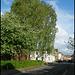 Albert Street birch