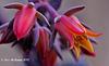 Echevira flowers Explore 077 copy