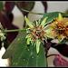 Passiflora 'Sunburst' (1)
