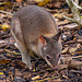 Dusky pademelon joey just out of the pouch..