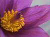 Pulsatilla  ( Pasque Flower)
