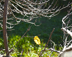 LA dernière feuille d'abricotier (its LAST leaf)