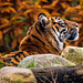 Tigress, I like the autumn colours in this photo.