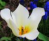 Tulipo