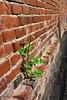 Altentreptow, Mauerblümchen
