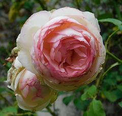 Rose de juin