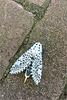 Leopard moth ~ Gestippelde houtvlinder (Zeuzera pyrina)...