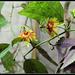 Passiflora 'Sunburst'