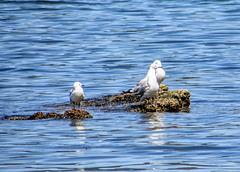 Lake Rotorua Gulls.