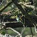 20170519 1625CPw [A+H] Bienenfresser (Merops apiaster), Neusiedler See