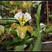 Paphiopedilum boliviana (1)