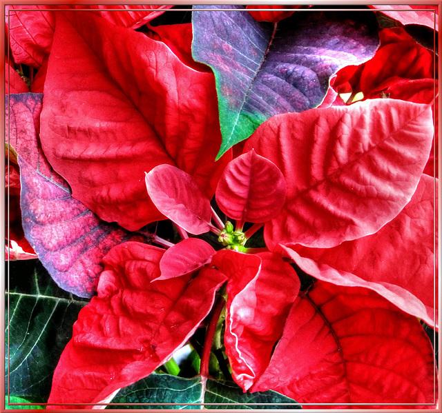 Weihnachtsstern (Euphorbia pulcherrima) ©UdoSm
