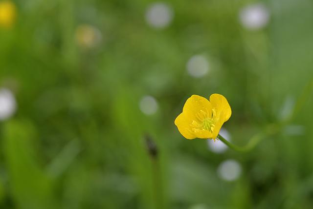 BESANCON: Un bouton d'or (Ranunculus).