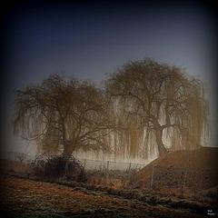 Jumeaux pleureurs.. givrés dans le brouillard froid du matin