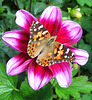 Painted Lady at the NYBG (Explored)