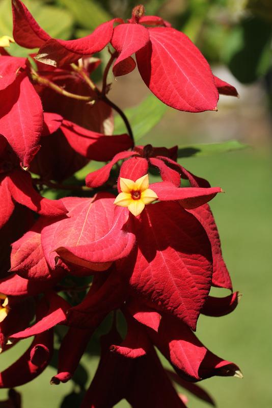 Fleur jaune pour poinsettia rouge