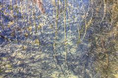 Fischnachwuchs in einem Zufluss des Illmensees