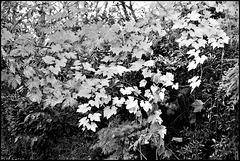 Vine leaves, November.
