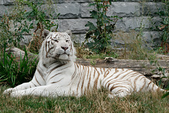 Sa Majesté le Tigre