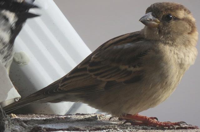 Resident House Sparrow